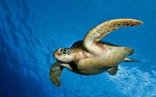 Черепаха – доклад сообщение