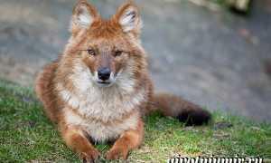 Красный волк – сообщение о редком животном