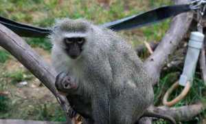 Шимпанзе – сообщение доклад