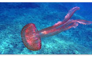 Медузы – доклад сообщение (3, 4, 7 класс, биология, окружающий мир)