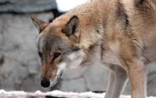 Волк – сообщение доклад