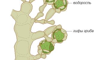 Лишайники – сообщение докад (3, 5 класс биология окружающий мир)