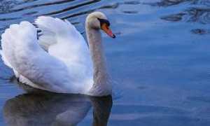 Анализ стихотворения Лебедь Бальмонта
