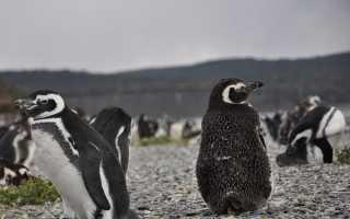 Доклад на тему Пингвины сообщение