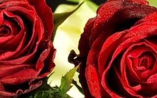 Анализ стихотворения Две розы Гумилева