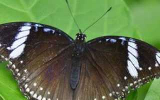 Анализ стихотворения Бабочка Бальмонта