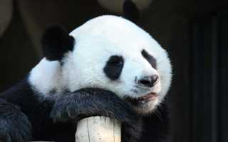 Панда – сообщение доклад