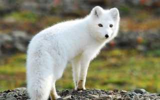 Какие животные живут в тундре?