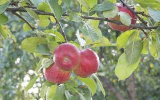 Сочинение Мое любимое дерево (Береза, дуб, яблоня)