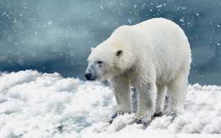 Животные Арктики – сообщение доклад (4 класс. Окружающий мир)