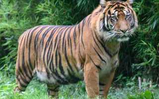 Тигр – доклад сообщение