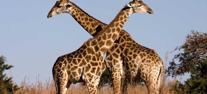 Какое самое большое животное на земле?