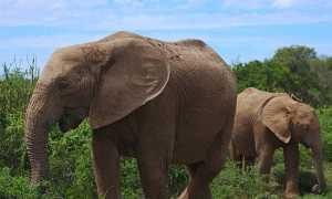 Охрана африканских слонов – сообщение доклад