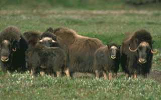 Доклад на тему Тундра животный мир и растительность (сообщение)