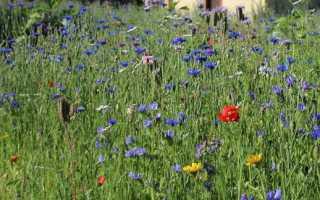 Анализ стихотворения Полевые цветы Бунина 3, 8 класс