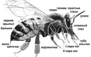 Пчелы – сообщение-доклад (2, 3, 5, 7 класс)