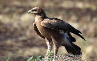 Степной орел – сообщение доклад