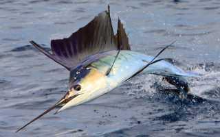 Рыба-меч – сообщение доклад