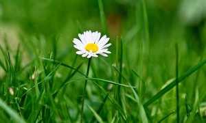 Сочинение Мой любимый цветок 5 класс (роза, тюльпан, ландыш, ромашка)