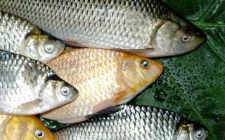 Рыба Карась – сообщение доклад
