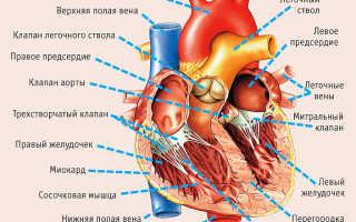 Сердце человека – доклад сообщение 2, 3, 4 класс