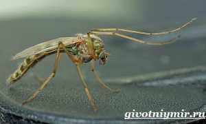 Комар – сообщение доклад