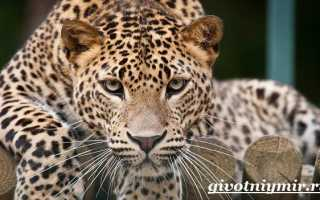 Леопард – сообщение доклад