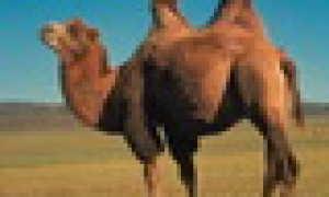 Басня Эзопа Верблюд и Зевс